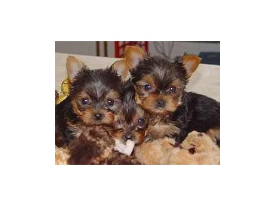Gorgeous teacup yorkie puppies for free